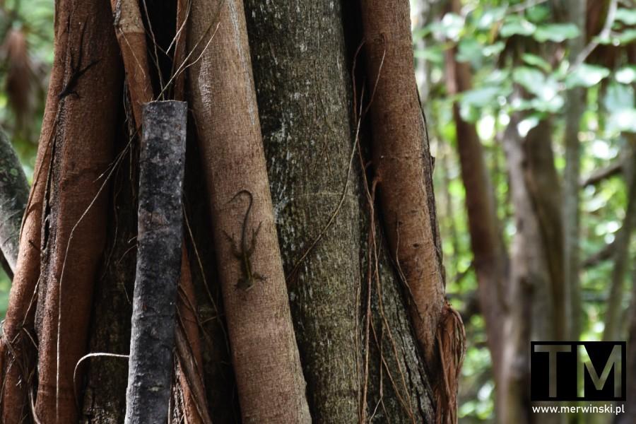 Jaszczurka na drzewie na Jukatanie