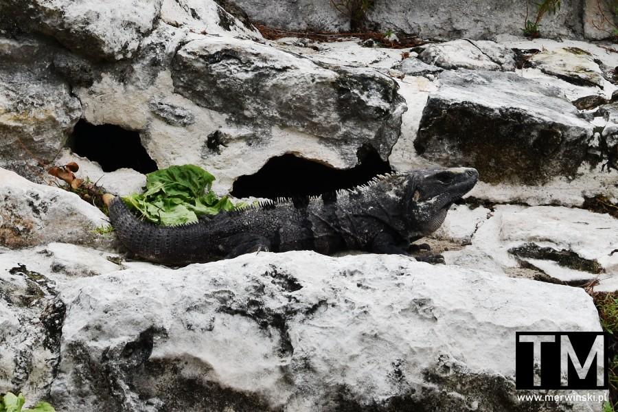 Iguana na kamieniu pośród ruin Majów