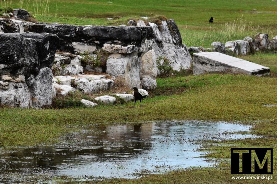 Ptak i majańskie ruiny w Meksyku