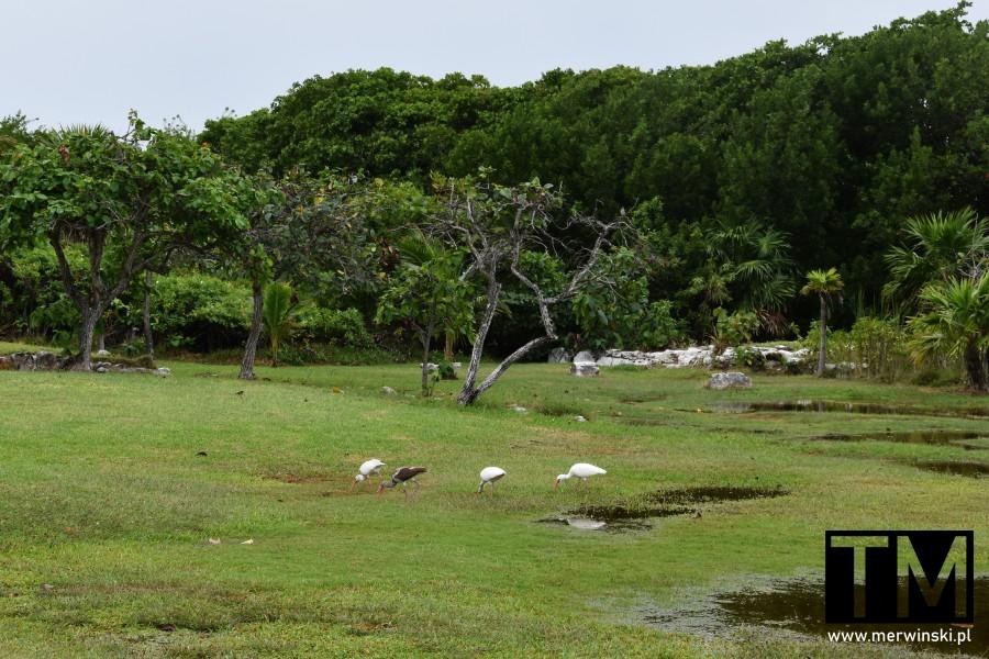 Ptaki i drzewa w Cancún