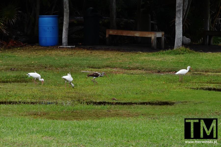 Ptaki brodzące w kałużach w Meksyku
