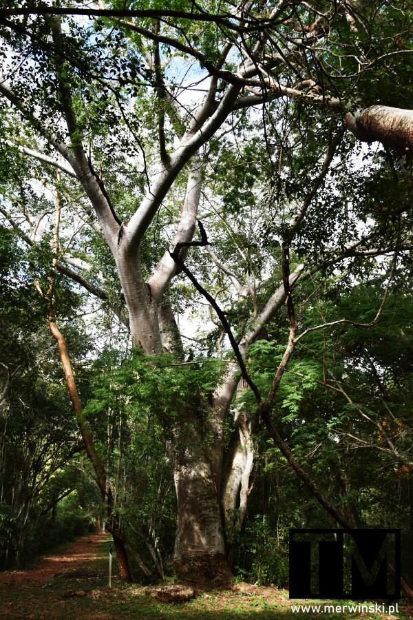Wysokie rozłożyste drzewo w dżungli w Sayil na Jukatanie