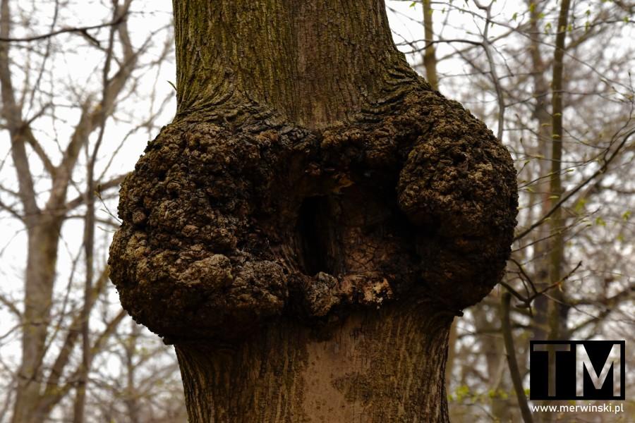 Koślawe drzewo w Dolinie Bystrzycy