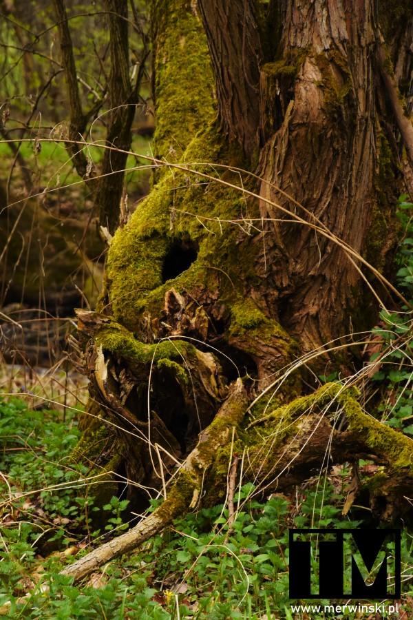 Zniekształcone stare drzewo w Dolinie Bystrzycy
