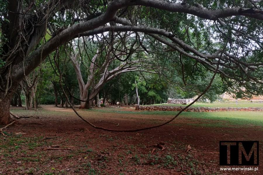 Drzewa jukatańskiej dżungli