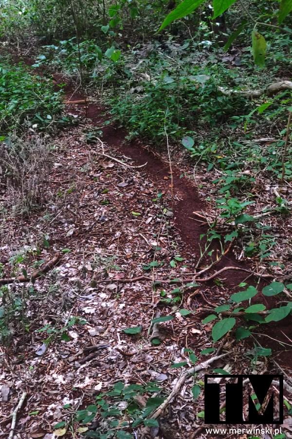 Ścieżka wydeptana przez mrówki w dżungli