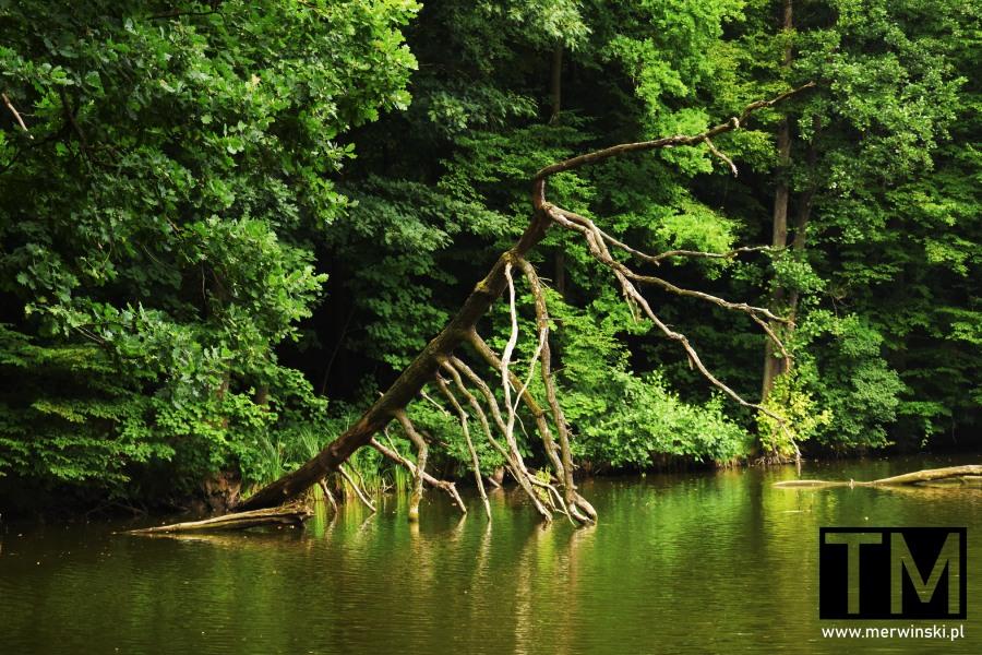 Drzewo przewrócone w stawie na Dolnym Śląsku