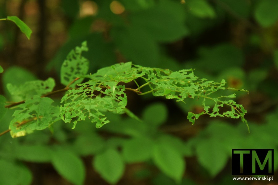 Dziurawe liście