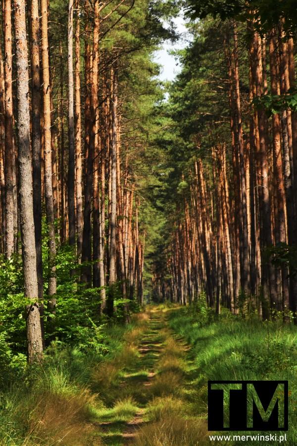 Droga leśna w okolicy Jelcza-Laskowice