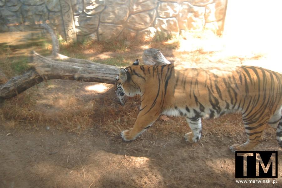 Tygrys w mini-zoo w Ayamonte