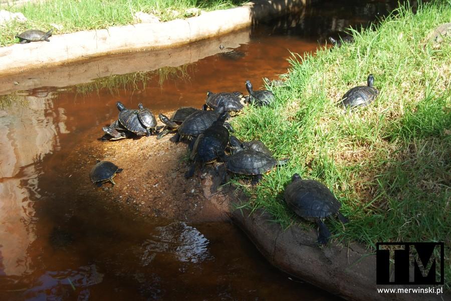 Żółwie na terenie parku miejskiego w Ayamonte w Andaluzji